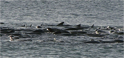 Stranded_whales