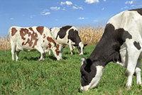 Ronnybrook_cows_1